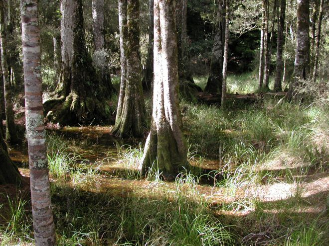 Kahikatea_with_submerged_roots_in_Arohaki_Lagoon